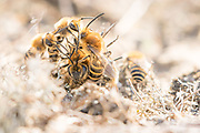 Ivy bee (Colletes hederae) mating ball on sandy heathland. Hampshire, UK.