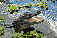 This large adult male alligator lives in a pond in my hometown of Bradenton, Florida and is a particularly aggressive fellow. Every time I got near him, he gaped and hissed like he is in this image. For some reason he shut his eyes in this shot.