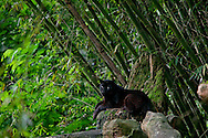 A Black Panter rest inside the Taman Safari.<br /> The Taman Safari in Bogor. Thousands of wild and nearly extinct animals live on the safari site which features a drive through animal park.<br /> Various scenes of the city of Jakarta in Indonesia.
