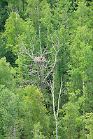 Golden eagle nest, Kemeri National Park, Latvia