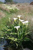 calla lilies on the Mendocino Headlands.