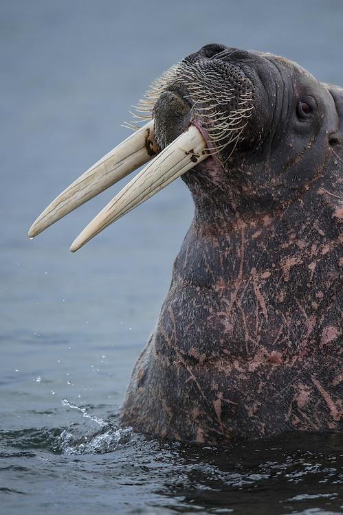 Walrus, Odobenus rosmarus, Svalbard, Norway, Arctic