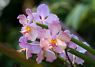 A close-up Dendrobium hybrid, pink orchids at the St. Rose Nursery, La Mode, St. George's, Grenada, West Indies, Caribbean