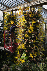 © Licensed to London News Pictures. 07/02/2012. London, England. Pictured: Nick Johnson, conservatory manager. The annual Orchid Festival opens on Saturday, 9 February in the Princess of Wales Conservatory at Kew Gardens, London. Horticulturalists set up floral displays. The festival runs to 3 March 2013. Photo credit: Bettina Strenske/LNP