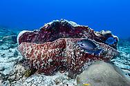 Blue tang surgeonfish-Poisson chirurgien bleu (Acanthurus coeruleus), Playa del carmen, Yucatan peninsula, Mexico.