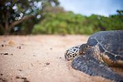 A Hawaiian Green Sea Turtle rest on the beach at Ali'i Park in Hale'iwa, Hawaii