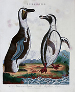 Aptenodytes The Patagonian Penguin The Magallanic Penguin (Spheniscus magellanicus) Copper engraving with hand colouring from Encyclopaedia Londinensis, or, Universal dictionary of arts, sciences, and literature [miscellaneous plates] by Wilkes, John Publication date 1796-1829