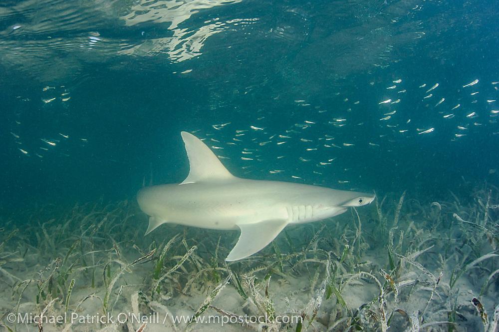 A Bonnethead or Shovelhead Shark, Sphyrna tiburo, swims over sea grass in Florida Bay in Everglades National Park, Monroe County, Florida, United States.