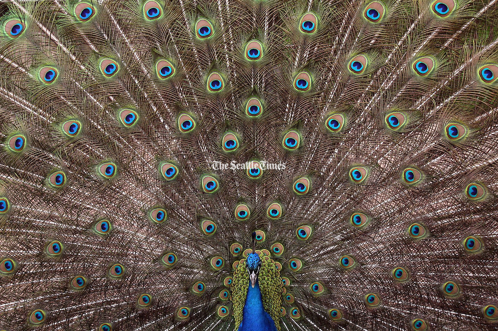 A Woodland Park Zoo Peacock flares it's feathers as it struts around the Savannah area. (Thomas James Hurst / The Seattle Times)