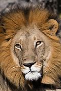 Close up portrit of a male lion, Panthera leo.
