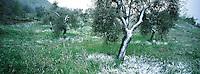 Italie - Toscane - Region de Sienne - Olivier sous la neige // Landscape around Sienne -Olive trees<br /> Tuscany - Italy