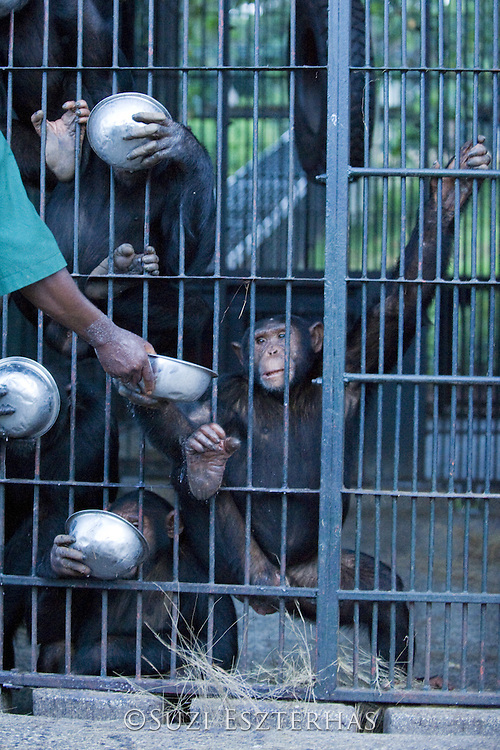 Chimpanzee<br /> Pan troglodytes<br /> Stany Nyomolwi (Caretaker) feeding rehabilitated chimps<br /> Ngamba Island Chimpanzee, Sanctuary <br /> *Model release available - Release #MR_010