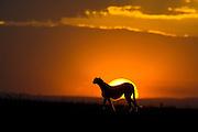 Cheetah<br /> Acinonyx jubatus<br /> Female hunting at sunset<br /> Maasai Mara Reserve, Kenya