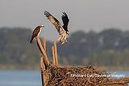 00783-02108 Osprey (Pandion haliaetus) landing at nest with fish Rend Lake Jefferson Co. IL