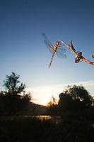 Vagrant Darter (Sympetrum vulgatum) European dragonfly in its habitat, Cerambyx cerdo, Gornje Podunavlje Special Nature Reserve, Serbia