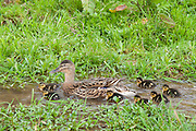 Female mallard duck with new ducklings, Anas platyrhynchos, on a stream in springtime at Swinbrook, the Cotswolds, UK