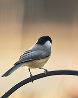 Black-capped Chickadee. Image taken with a Leica SL2 camera and Sigma 150-600 mm sport lens.