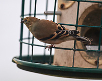 American Goldfinch (Spinus tristis). Image taken with a Nikon D5 camera and 600 mm f/4 VR telephoto lens.