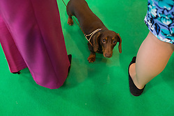 © Licensed to London News Pictures. 13/03/2016. Birmingham, UK. A small dog stands at the feet of two brightly dressed women at Crufts 2016 held at the NEC in Birmingham, West Midlands, UK. The world's largest dog show, Crufts is this year celebrating it's 125th anniversary. The annual event is organised and hosted by the Kennel Club and has been running since 1891. Photo credit : Ian Hinchliffe/LNP