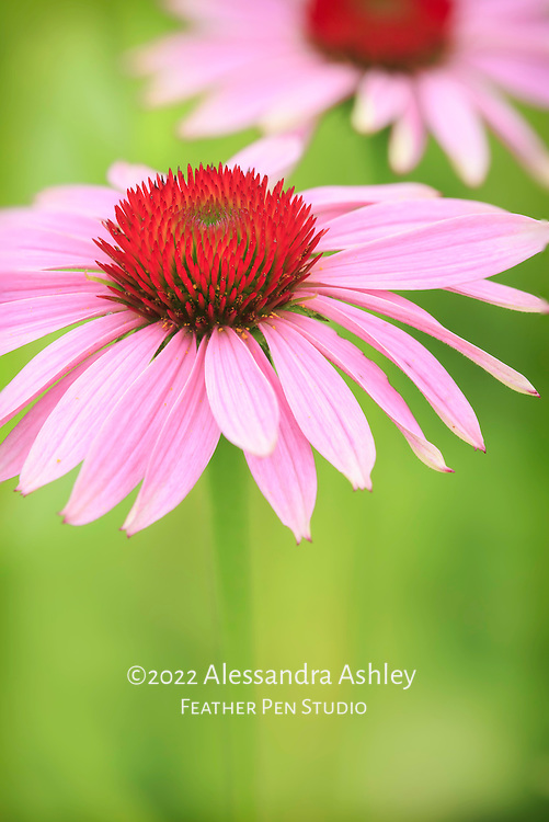 Soft glow on macro view of purple coneflower with ruby red center.  Tallgrass prairie, central Ohio.