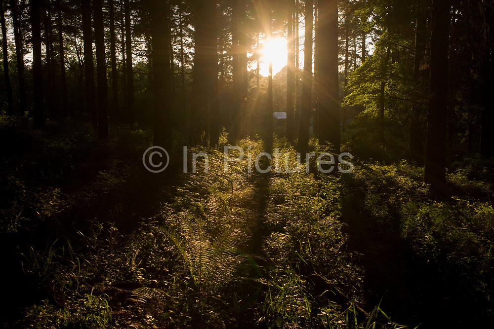 Late evening summer sunshine spreads through trees in woodland in North Somerset, UK. We see the vegetation and undergrowth on private land outside Bristol. The last light finds the trees in the otherwise dense and dark woods.