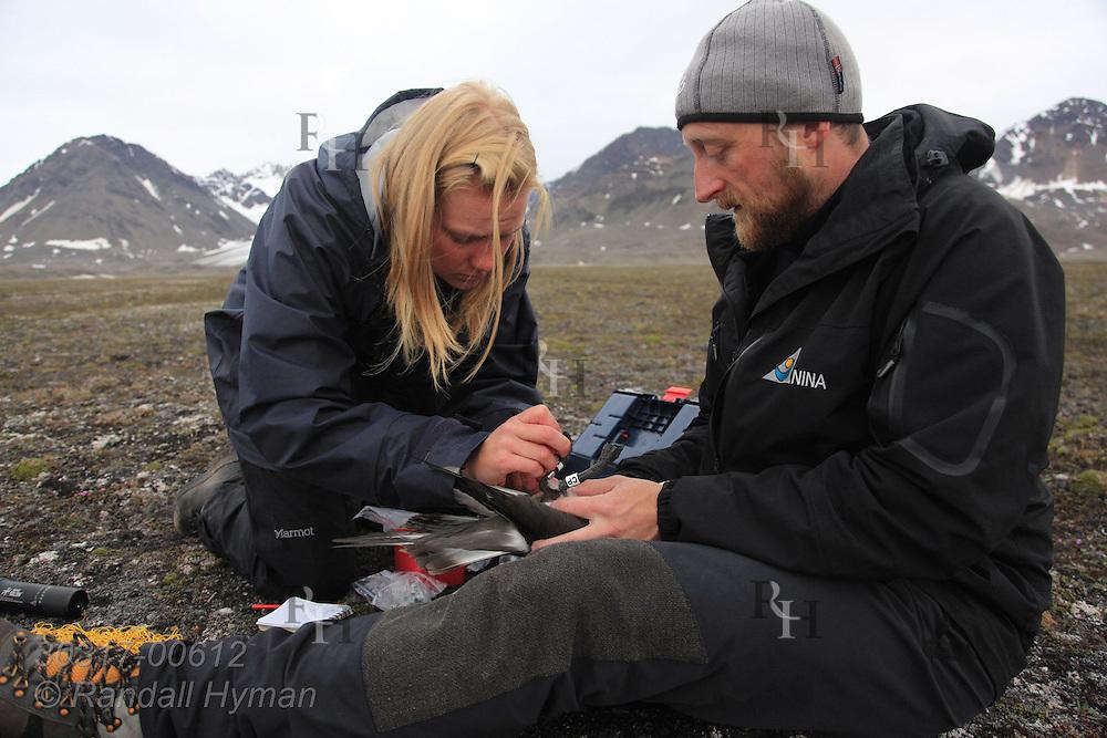 Biologists Sveinn Are Hanssen and  Elise Skottene put leg band on Arctic skua (Stercorarius parasiticus) during field research; Kongsfjorden, Svalbard.