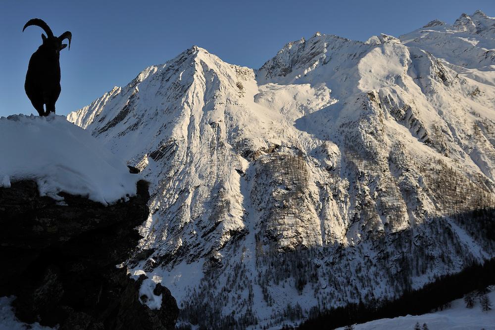 Alpine Ibex (Capra ibex) in alpine landscape.<br /> Gran Paradiso National Park, Italy