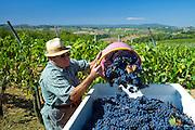 Man emptying Sangiovese Chianti Classico grapes into vat at Pontignano in Chianti region of Tuscany, Italy