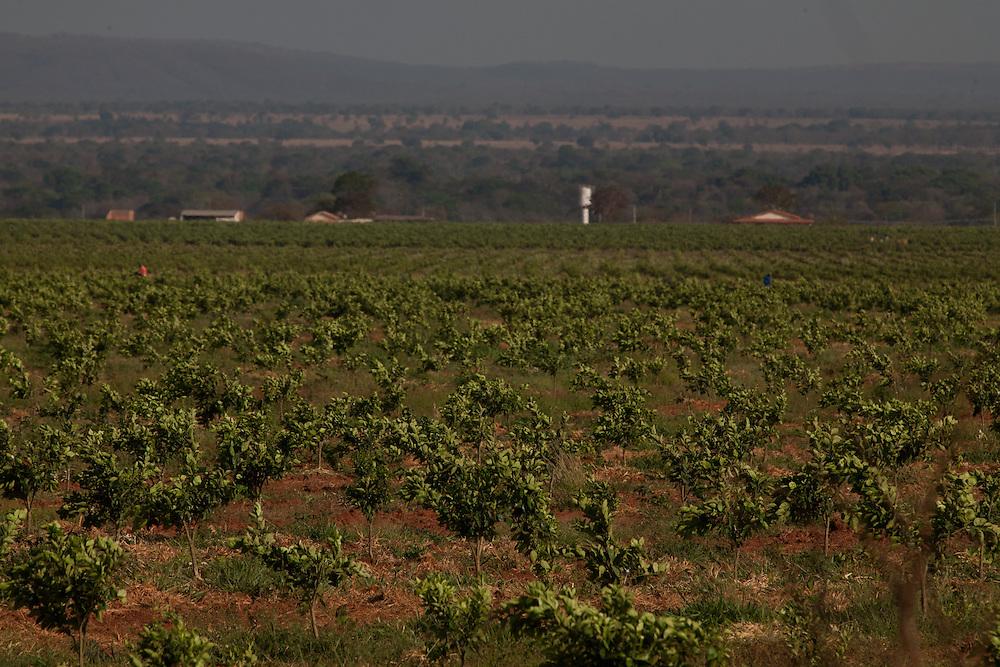 Corinto_MG, Brasil.<br /> <br /> Plantacao de laranja em Corinto, Minas Gerais.<br /> <br /> Orange cultivation in Corinto, Minas Gerais.<br /> <br /> Foto: LEO DRUMOND / NITRO