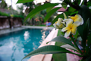 Frangipani flowers in foreground, swimming pool in background