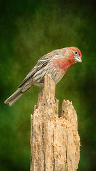 A Male House Finch Posted On An Old Stump On A Backdrop Of Green
