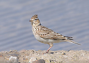 A skylark (Alauda arvensis) stands by a pond with  its crest erect. Rye Harbour Nature Reserve, Rye, Sussex, UK.  01May16