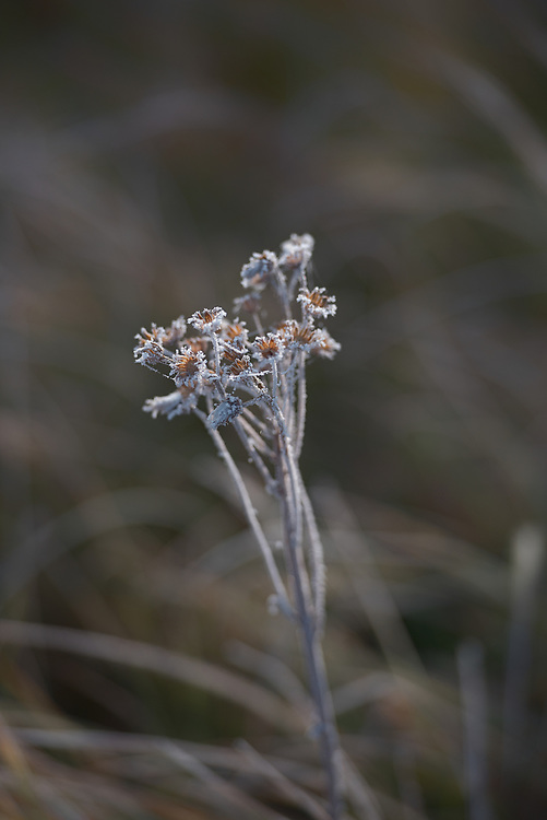 Flowers laced with frost adorn a meadow in the fall, Yellowstone