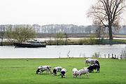 Nederland, Appeltern, 15-4-2019Koeien staan in een weiland terwijl een plezierjacht op een strang van de Maas vaart. Op verschillende plaatsen langs de Maas wordt gewerkt aan verbetering van de waterafvoer en waterberging.Foto: Flip Franssen
