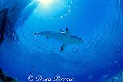 gray reef shark, Carcharhinus amblyrhynchos, Bikini Atoll, Marshall Islands, Micronesia ( Pacific Ocean )