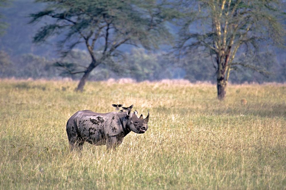 Black rhino (Diceros bicornis) from Lake Nakuru, Kenya.