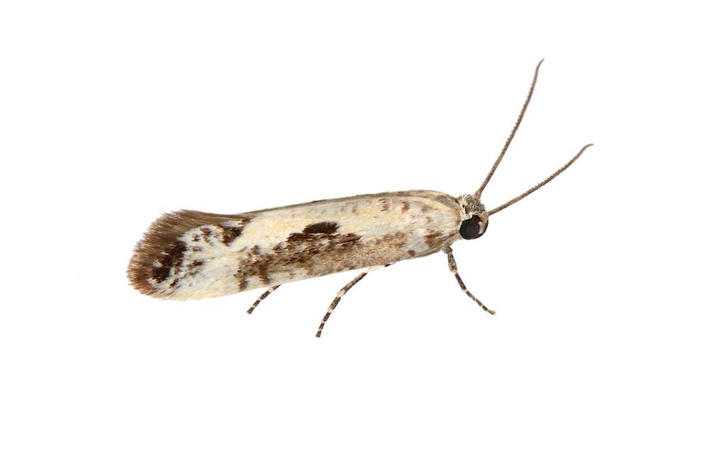 22.002 (0449)<br /> Ash Bud Moth - Prays fraxinella