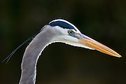 Great Blue Heron, Ardea herodias, on riverbank in the Everglades, Florida, USA
