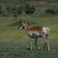 """Pronghorn roam lands near the Missouri River Breaks preserved by the American Prairie Foundation in central Montana.  Though often called """"antelope,"""" they are actually of a different animal family."""