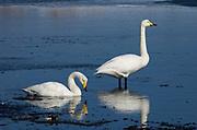 Whooper swan, Cygnus cygnus, pair in icy water, Odaito, Hokkaido Island, Japan, japanese, Asian, wilderness, wild, untamed, ornithology, snow, graceful, majestic, aquatic, .