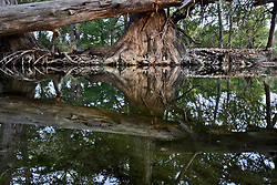 Stock photo of a large cypress tree reflected in a river in the Texas Hill Country