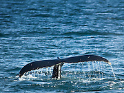 Big Humpback whale jumping
