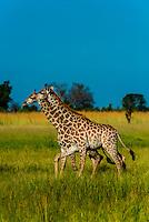 Giraffes, Okavango Delta, Botswana.