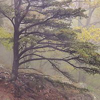 """""""Pine Tree in Fog""""<br /> <br /> Beautiful forest of pine trees shrouded in fog along Skyline Drive in Shenandoah National Park!!<br /> <br /> The Blue Ridge Mountains by Rachel Cohen"""
