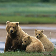 Alaskan Brown Bear, (Ursus middendorffi) Mother and two cubs. Alaskan Peninsula.