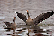 The Greylag is the largest and bulkiest of the grey Anser geese. Very common in Iceland.