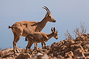 young and old Male Nubian Ibex (Capra ibex nubiana), Negev Desert, Israel