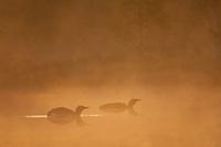 Pair of Red-throated divers (Gavia stellata) at dawn on mist-laden lake, Bergslagen, Sweden.