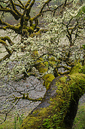 Moss-covered tree along the Eel River, Humboldt County, California