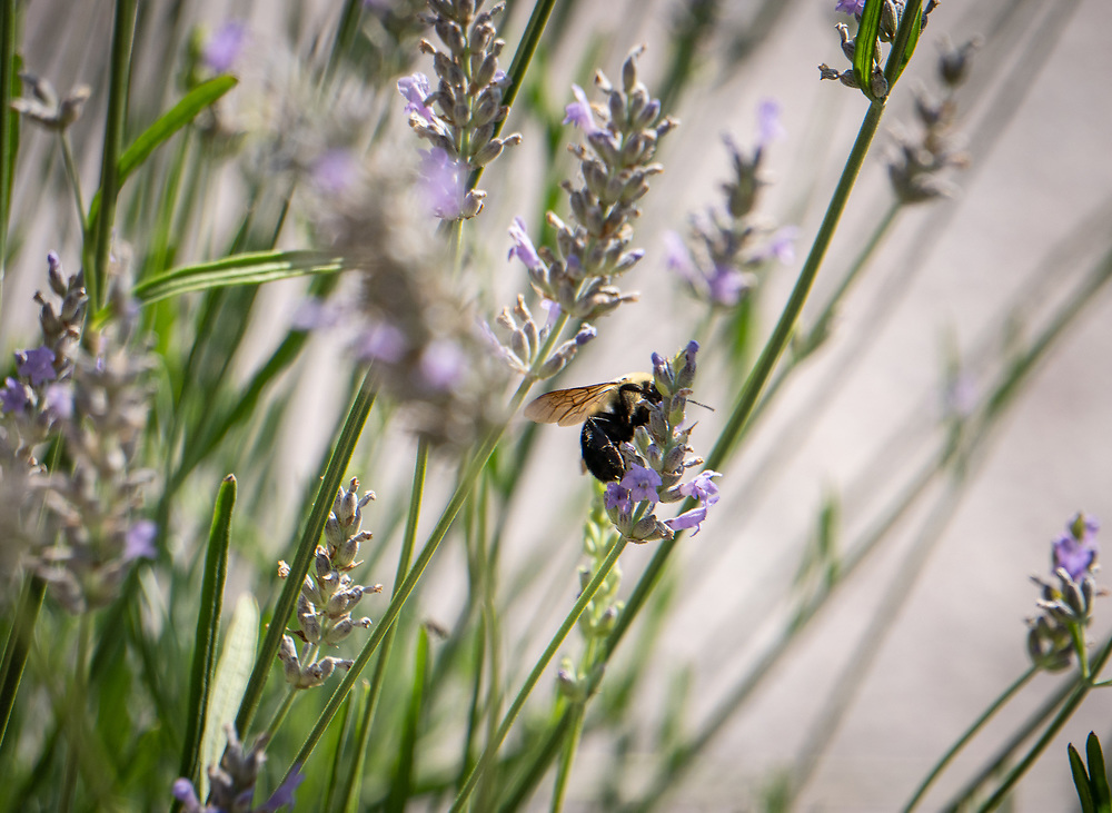 Bees and butterflies tend blooms in the Victory Garden beside the Smithsonian National Museum of American History.